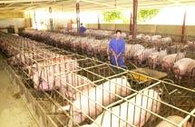 ing-agronomica-granja-cerdos-200